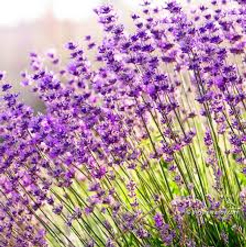 Lavender (Bulgarian)   ESSENTIAL OIL