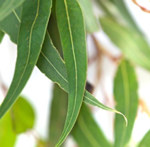 Eucalyptus (Blue Mallee)   ESSENTIAL OIL