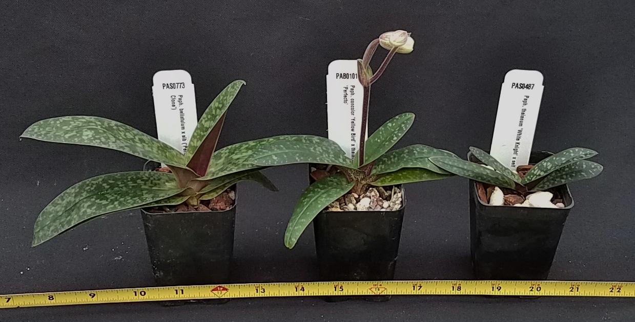 Orchid Inn Ltd. sample product orchid Brachypetalum PaphiopedilumPlants