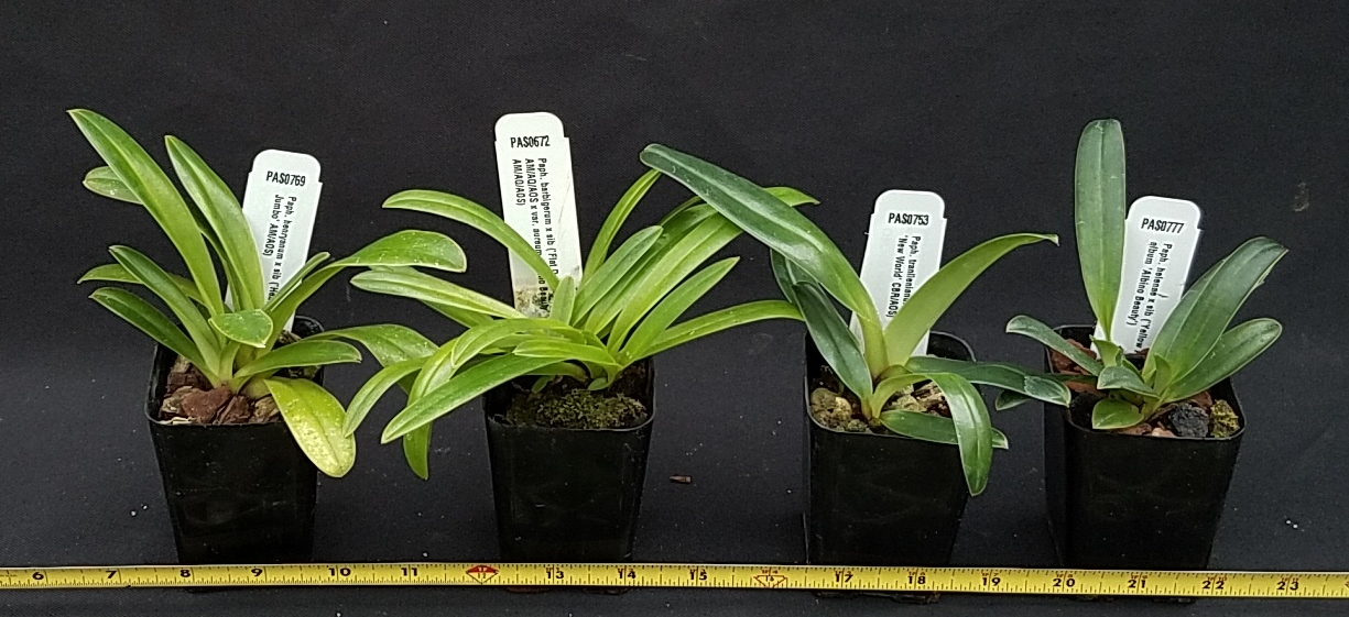 Orchid Inn Ltd. Miniature Paphiopedilum