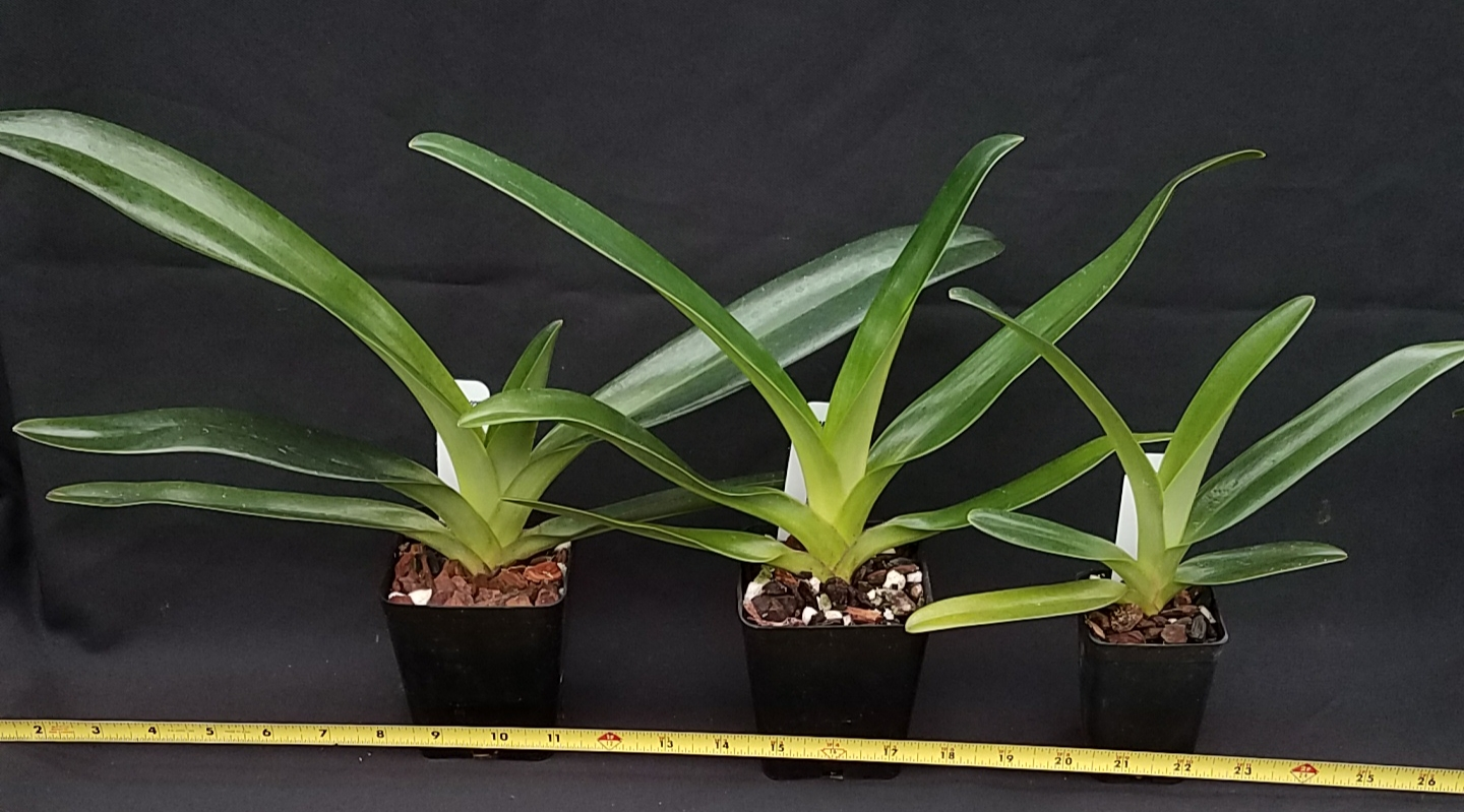 Orchid Inn Ltd. sample product orchid Multifloral Paphiopedilum Hybrids
