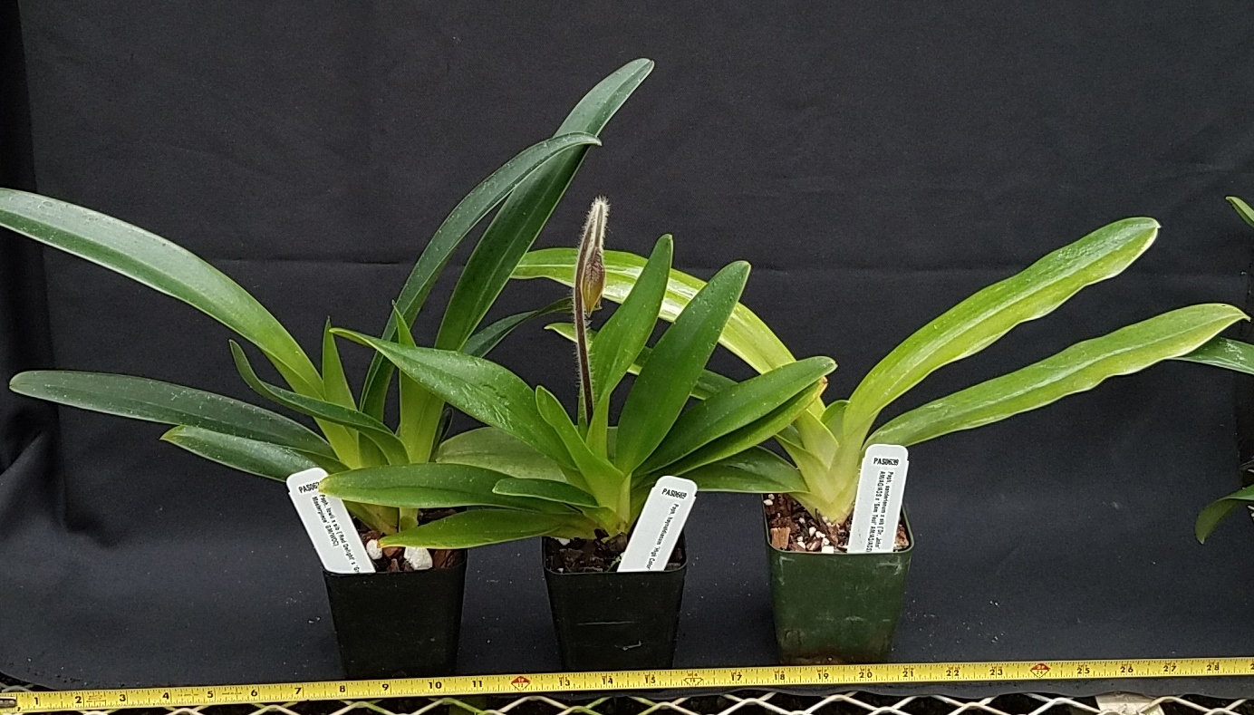 Orchid Inn Ltd. sample product orchid Multifloral Paphiopedilum Species