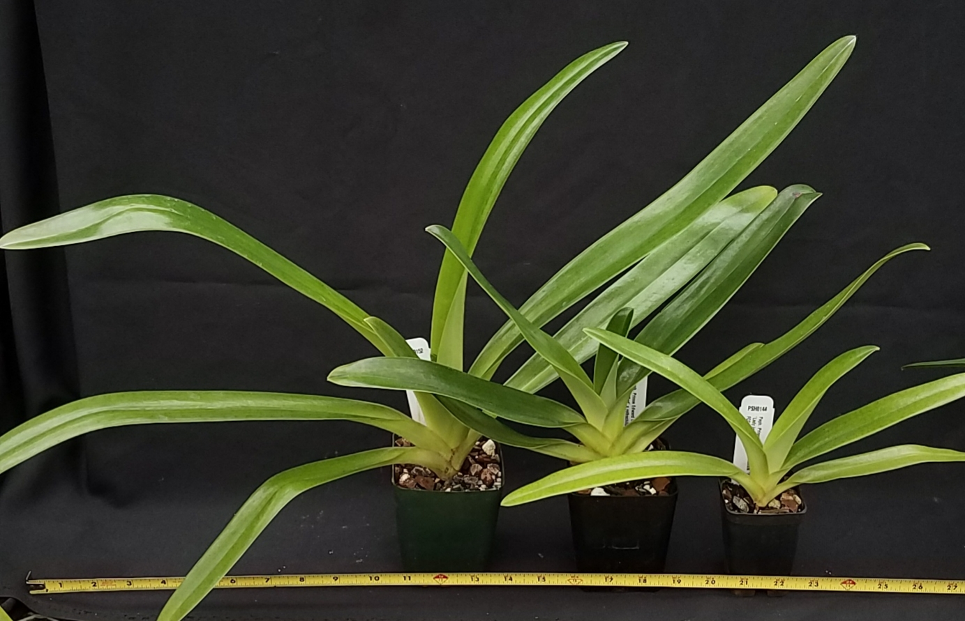 Orchid Inn Ltd. sample product orchid Paphiopedilum sanderianum Hybrids Plants