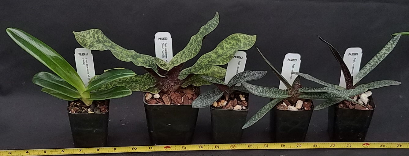 Orchid Inn Ltd. sample product orchid Parvisepalum Paphiopedilum Species