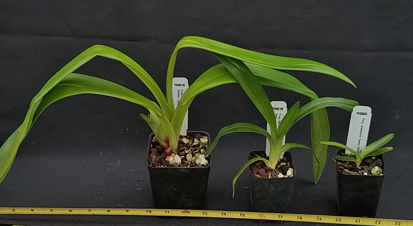 Orchid Inn Ltd. sample product orchid Phragmipedium Plants
