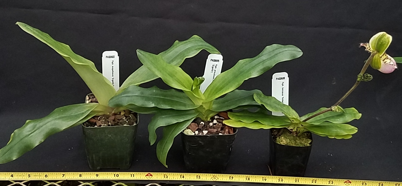Orchid Inn Ltd. sample product orchid Sequential Blooming Species Paphiopedilum Plants