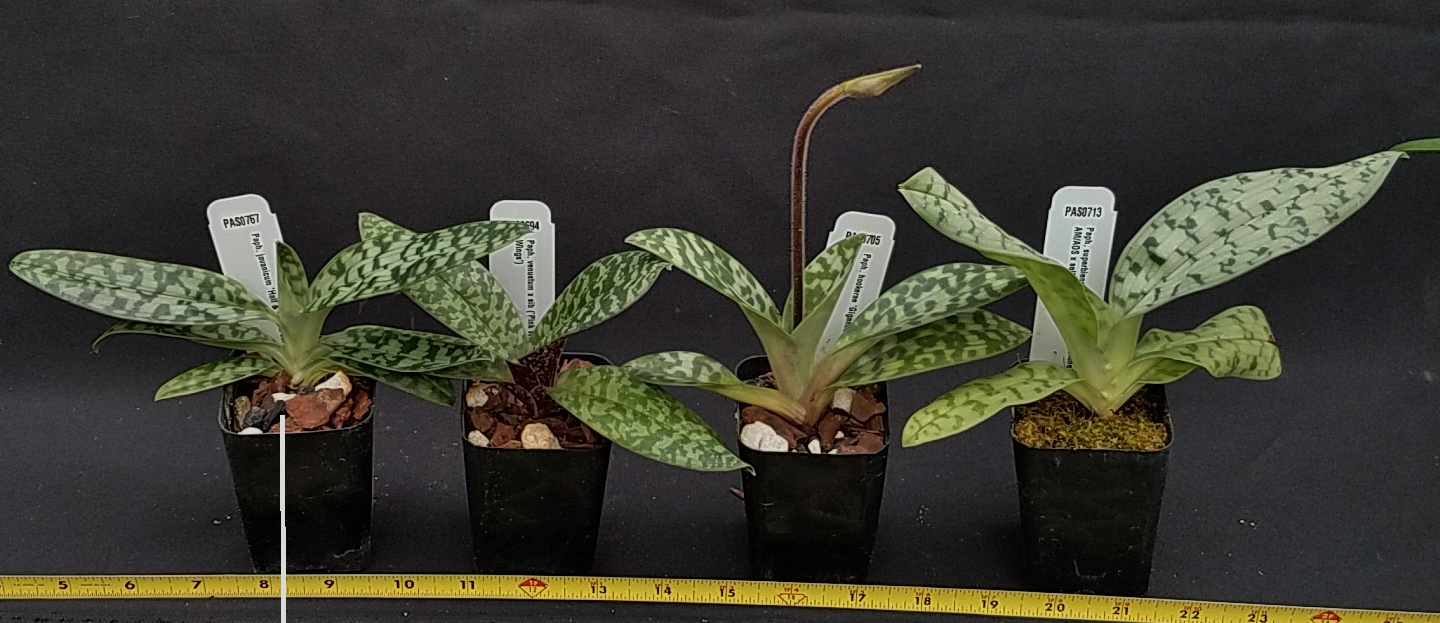 Orchid Inn Ltd. sample product orchid Paphiopedilum Species Plants