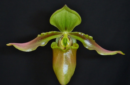 Paph. amabile x sib ('Shine & Glory' x 'Purple Wings')