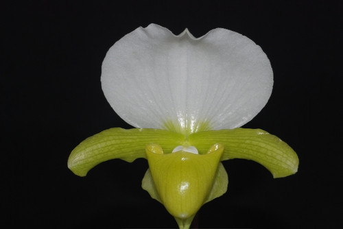 Paph. charlesworthii fma alba x sib ('White Knight' x 'First Class' AM/AOS')