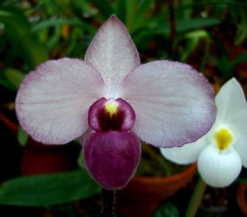 Paph. delenatii fma. vini (dunkle) x sib ('Purple Angel' x 'Purple Delight' AM/AOS)