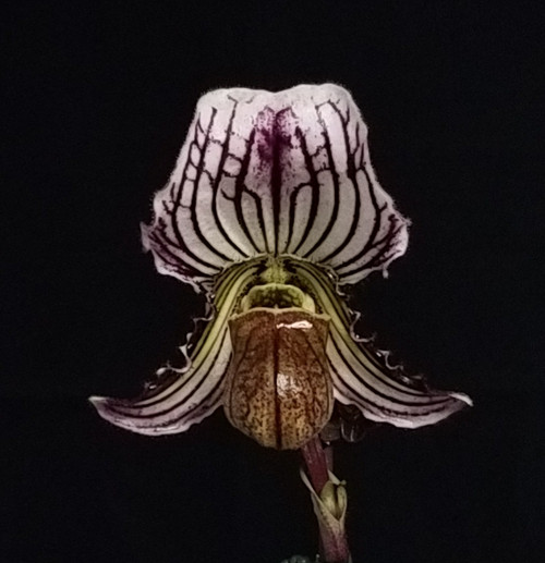 Paph. fairrieanum x sib ('Semi Gigantic' x 'Russ's Red')