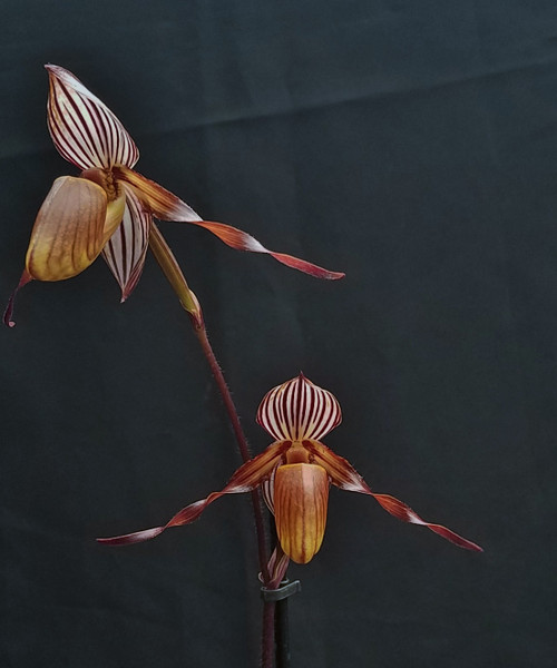 Paph. glanduliferum var. gardineri x sib ('New Horizon' x 'Black Tiger')