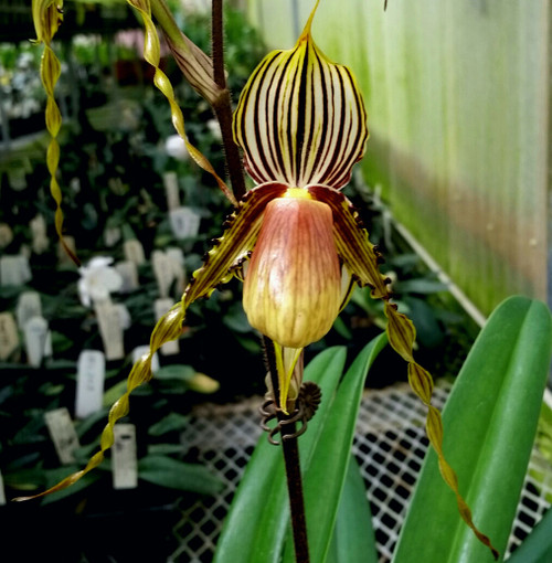 Paph. glanduliferum var. praestans x sib ('Sam's Choice' x 'Yellow Giant')