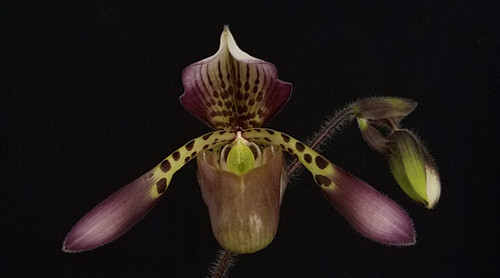 Paph. haynaldianum 'High Color' x self