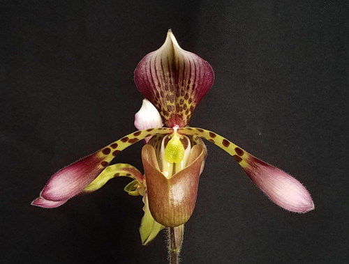 Paph. haynaldianum x sib ('Ron' x 'High Color')