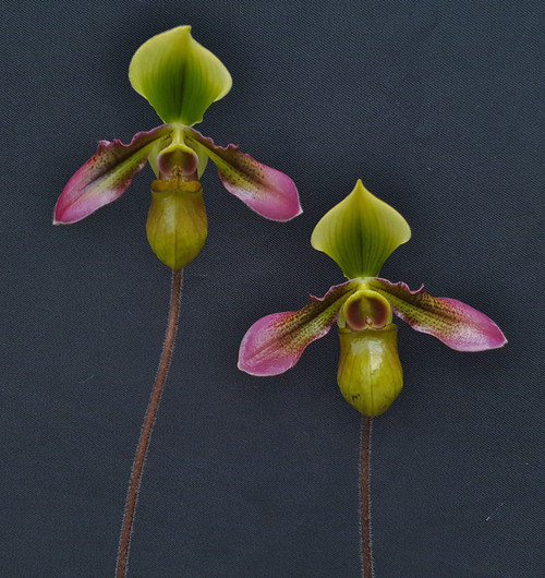 Paph. hookerae 'Gigantic' x self