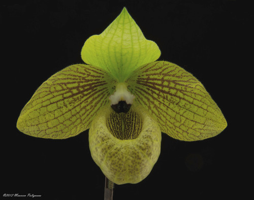 Paph. malipoense 'Sam's Choice' FCC/AOS x self