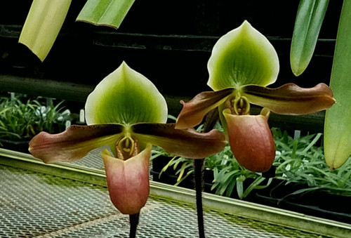 Paph. mastersianum x sib ('Wesley' x 'Green Lovely')