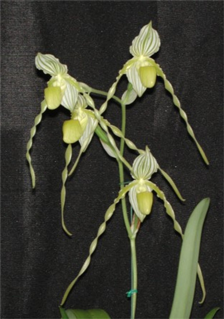 Paph. philippinense var album x sib ('Green Delight' x 'Albino Beauty' AM/AOS)