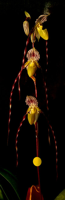 Paph. philippinense x sib ('Super Wings' x 'New Twist')