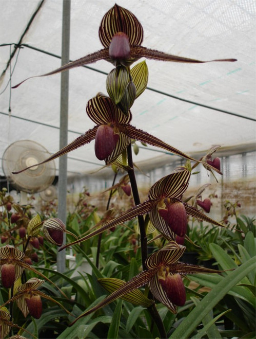Paph. rothschildianum x sib ('Giant Wings Jr.' x 'X-Hot' SSM/JOGA)