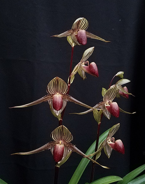 Paph. rothschildianum x sib ('Gold Dynasty' x 'Giant Wings' GM/WOC)