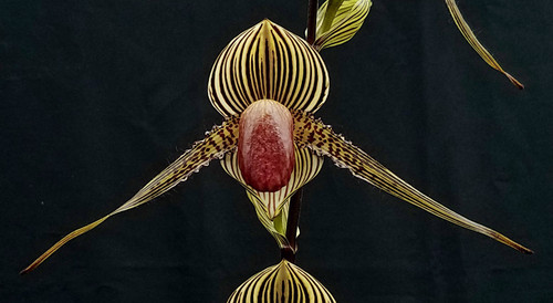 Paph. rothschildianum x sib ('Tiger March' SM/JOGA x 'New Horizon' FCC/AOS)
