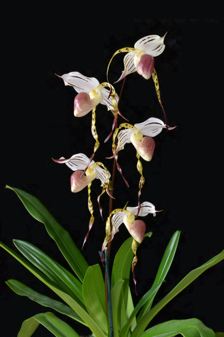 Paph. stonei x sib ('Red Pouch' x 'The Best')