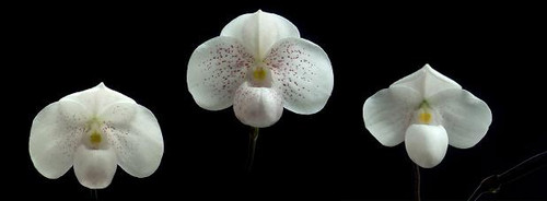 Paph. thaianum x sib ('Mini White Angel' x 'Perfect Snow Ball')