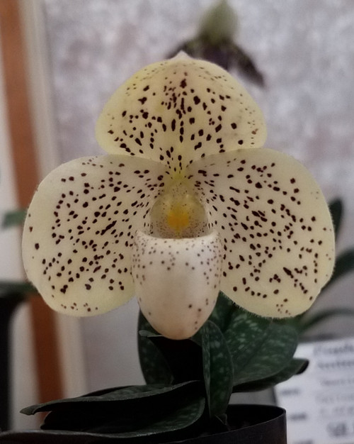 Paph. Conco-bellatulum 'SVO' AM/AOS x thaianum 'Super Cute'