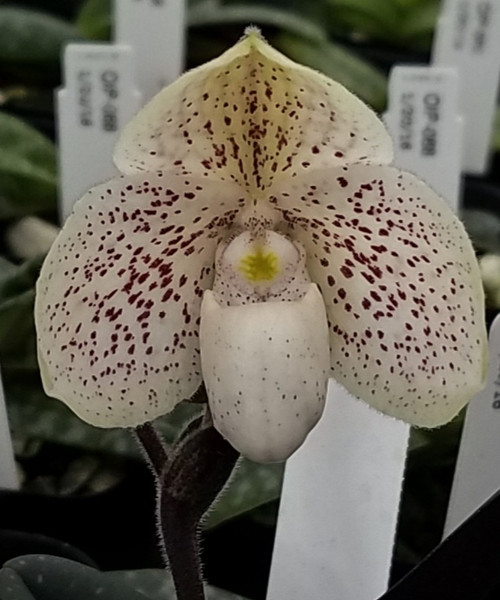 Paph. S. Gratrix 'Black Widow' x thaianum 'Perfect Circle'