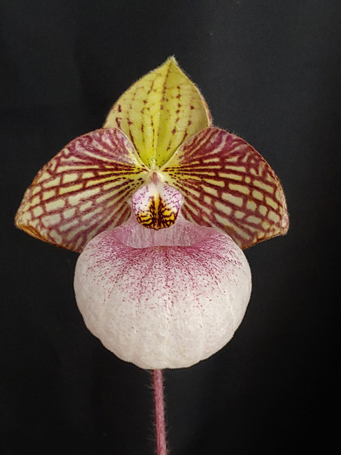 Paph. Fanaticum (micranthum 'Red Fox' x malipoense 'Red Strips')