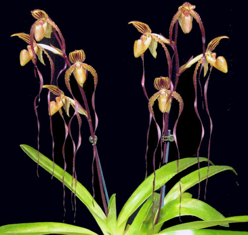 Paph. Angel Hair (Saint Swithin 'Jumbo Jamboree' AM/AOS x sanderianum 'Sam Tsui' AM/AOS)