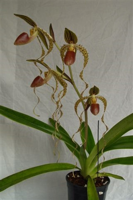 Paph. Ching Hua Dancer 'Muscle Man' x sanderianum 'Sam Tsui' AM/AQ/AOS