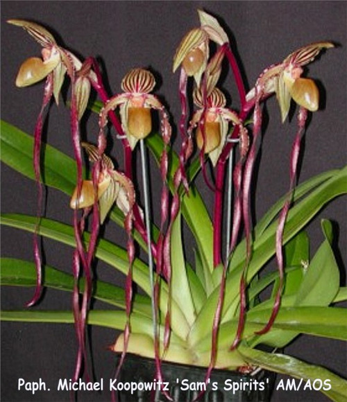 Paph. Michael Koopowtiz (philippinense 'Super Twister' x sanderianum 'Lady in Red')