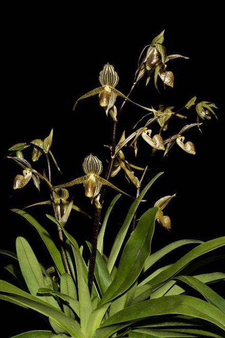 Paph. Bel Royal (kolopakingii var. topperi 'Jamboree' HCC/AOS x rothschidianum 'New Dimension')