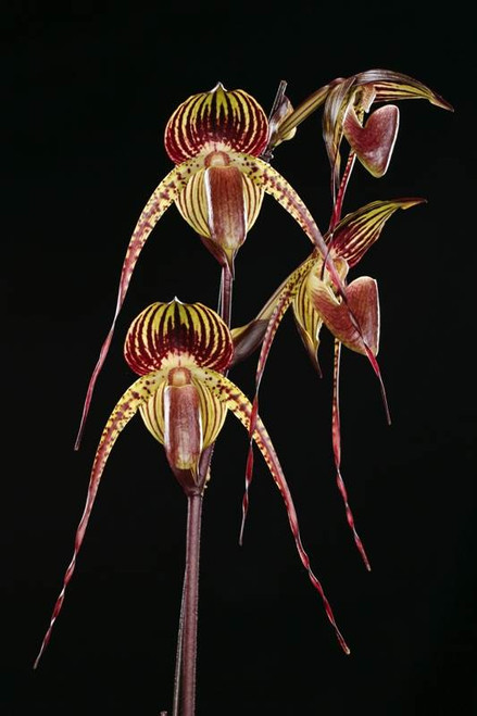 Paph. Hsinying Anita (Lady Isabel 'Lady in Red' x adductum var. anitum 'Ace' AM/AOS)