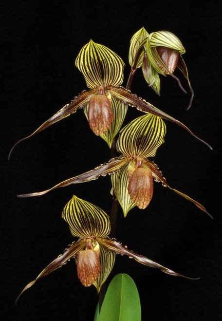 Paph. lowii 'Exotic Dancer' FCC/AOS x Shin-Yi Williams 'Gigantic'