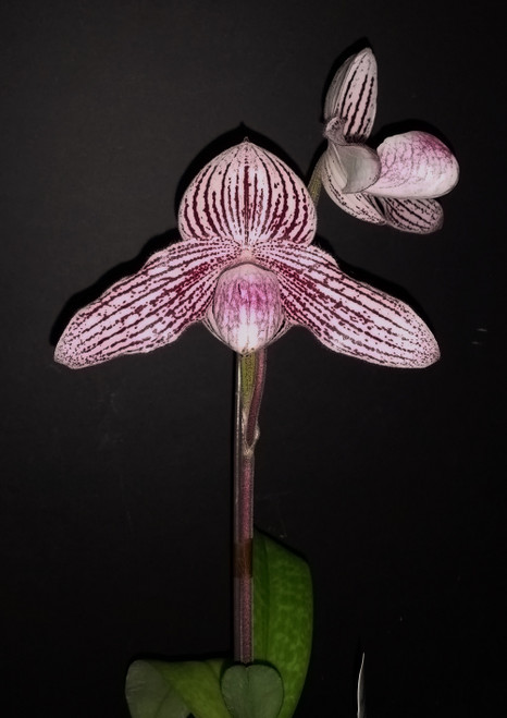 Paph. rothschildianum 'Little Giant' x thaianum 'Perfect Circle'