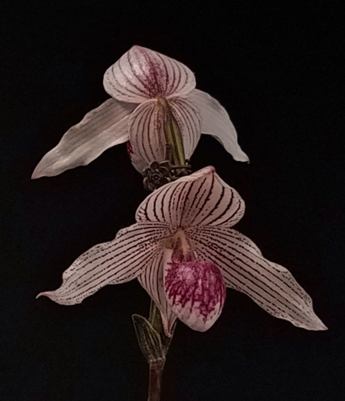 Paph. thaianum 'Perfect Snow Ball' x rothschildianum 'Giant Wings' GM/WOC