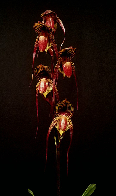 $10 off Near Blooming Size. Paph. Wossner Black Wings (rothschildianum 'Leo' SM/JOGA x adductum var. anitum 'Ace' AM/AOS)