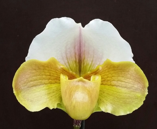 Paph. Crazy Jolly 'Big Time' x Lippewunder 'Humongous'