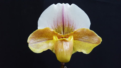 Paph. Dolls Kobold 'Pink Dorsal' x Baby Boo Boo 'Green Dorsal Pink Pouch'