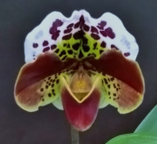 Paph. Spotted Smile 'Sweet Smile' x (Morgana Spots x Mingo) 'Bright Spots'