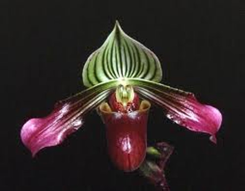 FLASK - Paph. urbanianum x sib ('Spotted River' x 'Long Face')
