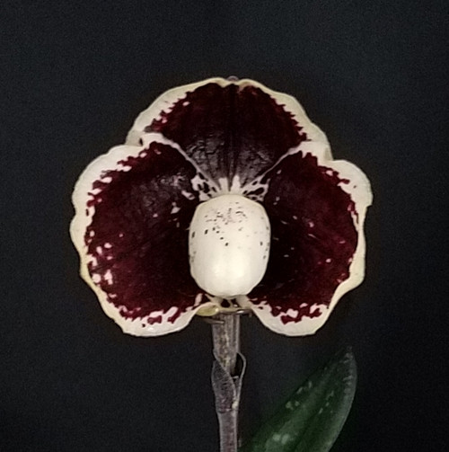 FLASK - Paph. leucochilum 'Dark Lord' x self