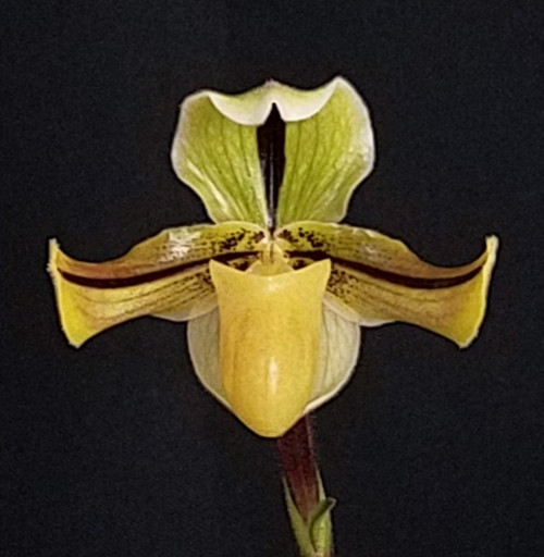 FLASK - Paph. druryii x sib ('Yellow Tiger' x 'The King' AM/AOS')