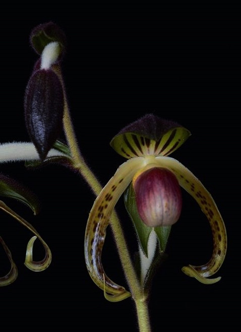 FLASK - Paph. gigantifolium x sib ('Star Flighter' x 'King Snake')