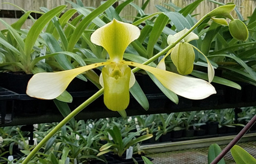 FLASK - Paph. lowii fma. semi-album x sib ('Little Spots' x 'Lady Love')