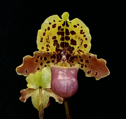 FLASK - Paph. henryanum x sib ('Super Jumbo' AM/AOS x fma. album 'Albinal Beauty')